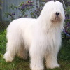 South Russian Ovcharka - White Russian Dog