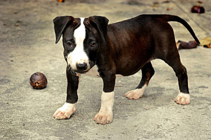 pit bull dog photo