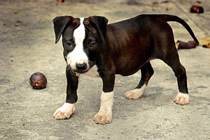 Pitt Bull Male Dog Names
