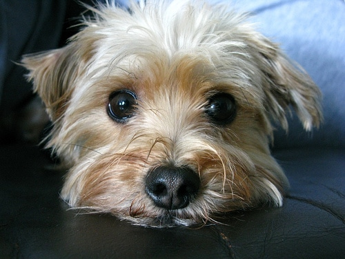 morkie 488998 How long should you crate train your dog?