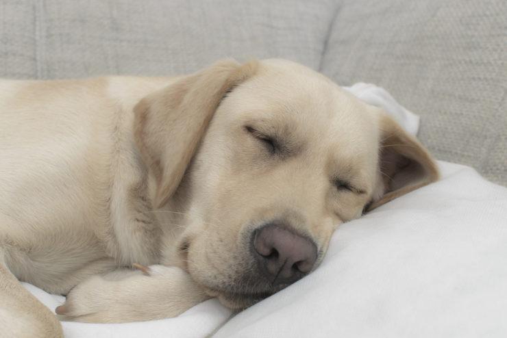 yellow labrador asleep