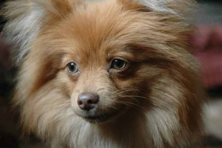 pomeranian breeding photo