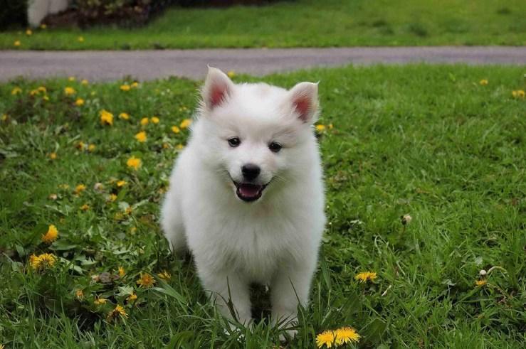National Dog Show American Eskimo
