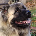 caucasian-mountain-dog-thumbnail