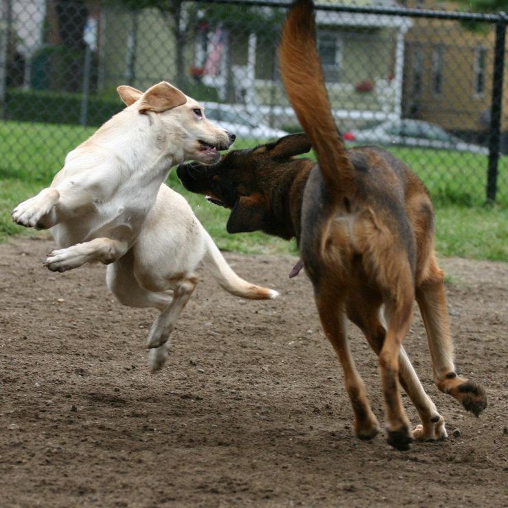 German Shepherd Dog Fight Would a rottweiler win...
