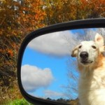 borzoi in car mirror