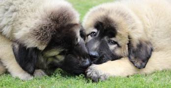 Caucasian Shepherd for Sale or Adoption