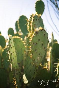 Cacti in Tucson