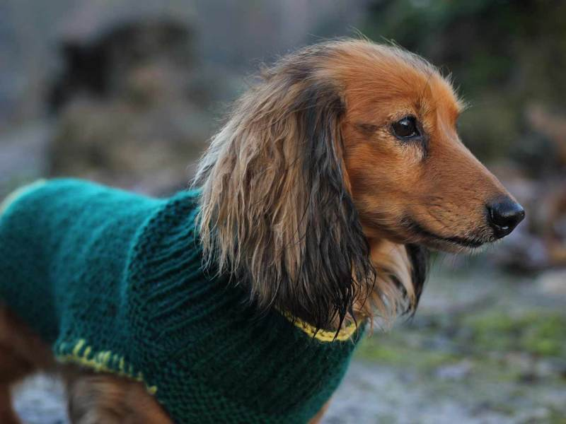 Marvellous Large Dog Knitted Dog Coat Modelled By Milo Dog Coat
