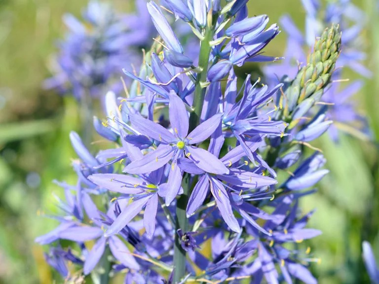 Blue flowers for your garden - Saga