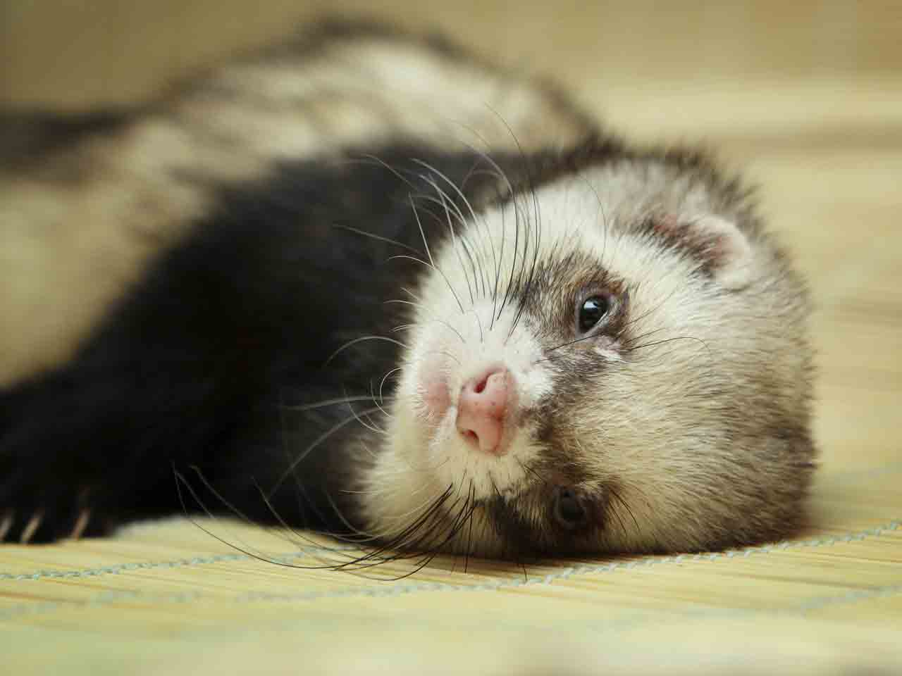 Cute Funny Wallpapers For Lazy Peopke An Introduction To Ferrets Saga