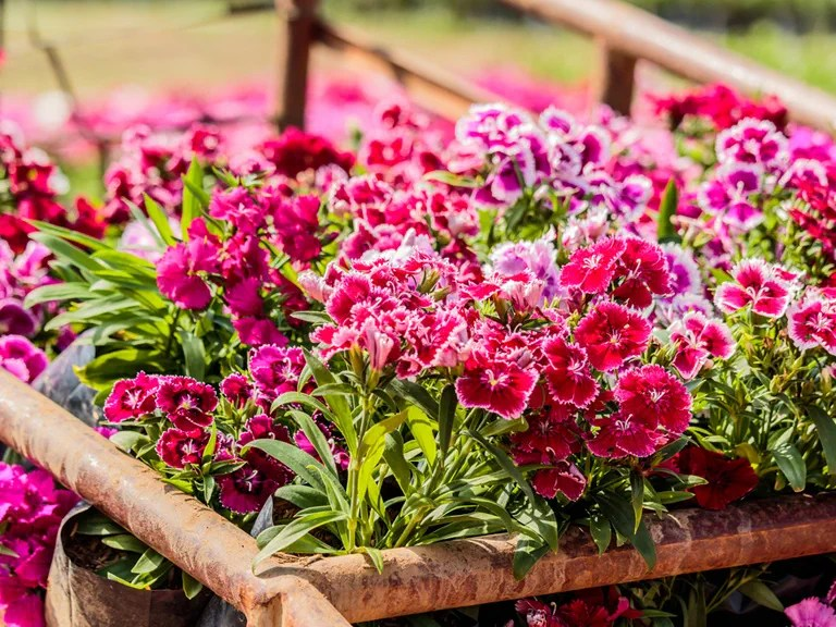 How to care for dianthus/pinks - Saga