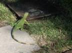 Iguana at El Cid