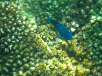 Juvenile Giant Damselfish with Sapphires!