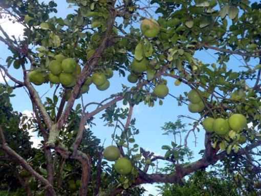 Pamplemousse (grenivka, ki pa je sladka)