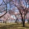 春日城趾公園 桜の季節