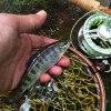 初めてアマゴを釣った川|天竜川水系 フライフィッシング