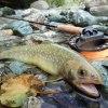 緑色のイワナ|天竜川水系 フライフィッシング