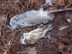 151230小鳥の羽11