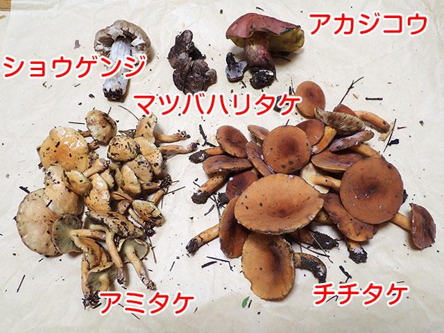 160802キノコ収穫