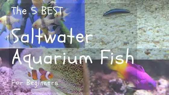 5 Saltwater Aquarium Fish for Beginners Great Marine Community Fish