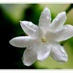 Propiedades y usos del Aceite Esencial de Jazmín