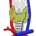 La glándula tiroides