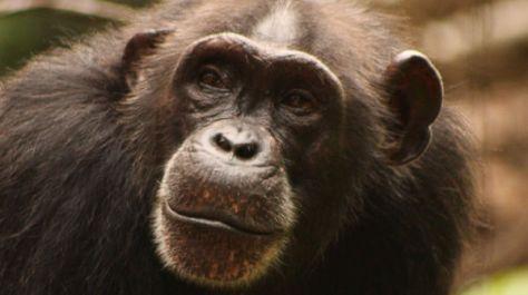 Chimpancé de África occidental (Pan troglodytes verus)