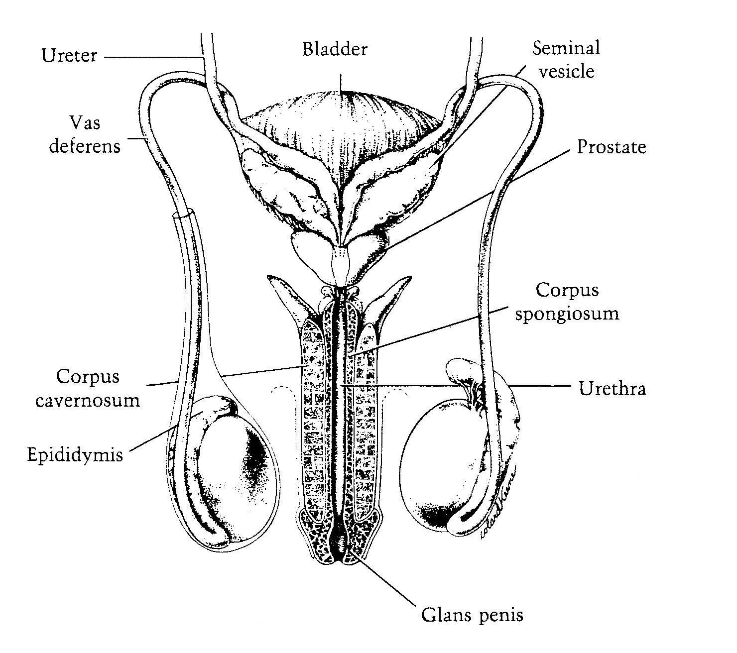 diagram of throat bones