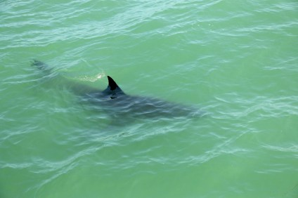 A juvenile great white shark swims near the Dana Wharf Sportfishing boat on Saturday, May 13, near Capistrano Beach. Photo: Eric Heinz