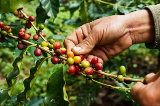 Coffee berries are used in KonaRed's brew. Photo: Courtesy