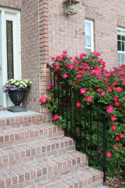 Small Of When To Prune Knockout Roses