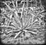cinque terra plant2