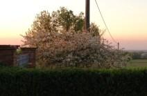 Amarene in fiore