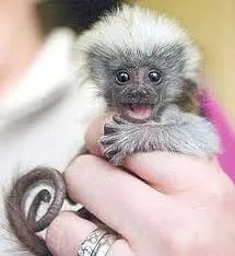 research, marmoset