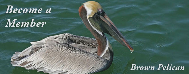 Become a Member - Brown Pelican
