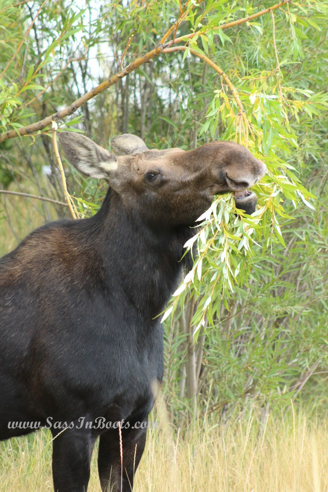 moose-lunch