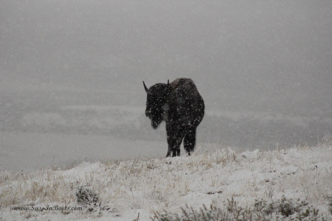 snowy-bison-yellowstone-national-park