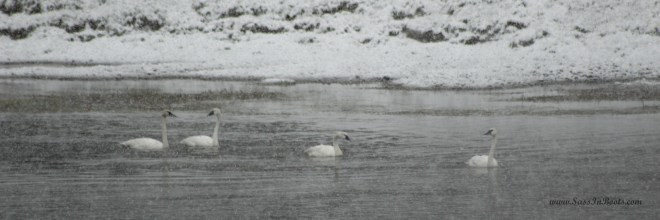 swans-in-snow-yellowstone-national-park