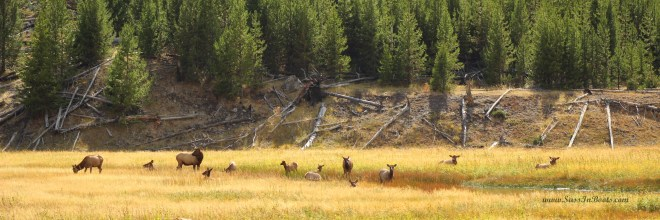 west-yellowstone-elk-in-meadow