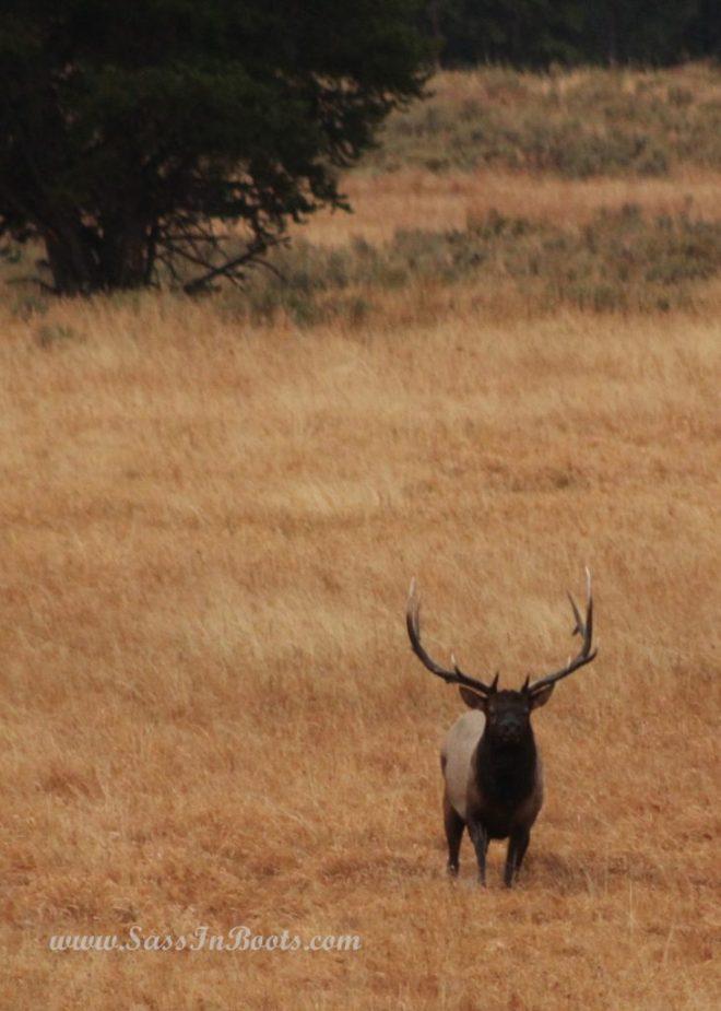 yellowstone-national-park-elk