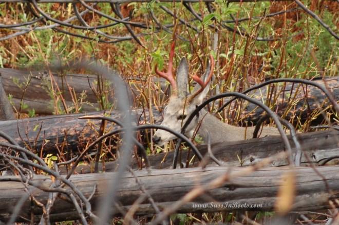 yellowstone-national-park-mule-deer-red-antlers