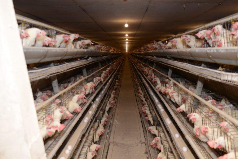 Shady Brae Farm - Sauder\u0027s Eggs