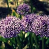 Photograph-Lavender-Puff-Flower-Nature-Zen-Beauty