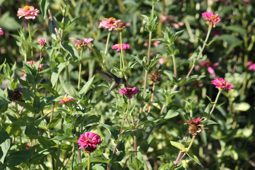 Hummingbird on zinnias