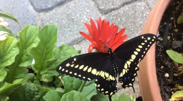 Raising Black Swallowtail Butterflies