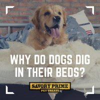 why do dogs dig in their beds - 28 images - why does my ...