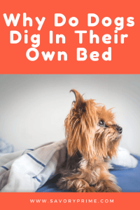 Why Do Dogs Dig in Their Beds?   Savory Prime Pet Treats