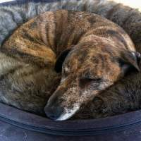 Why Do Dogs Dig in Their Beds? | Savory Prime Pet Treats