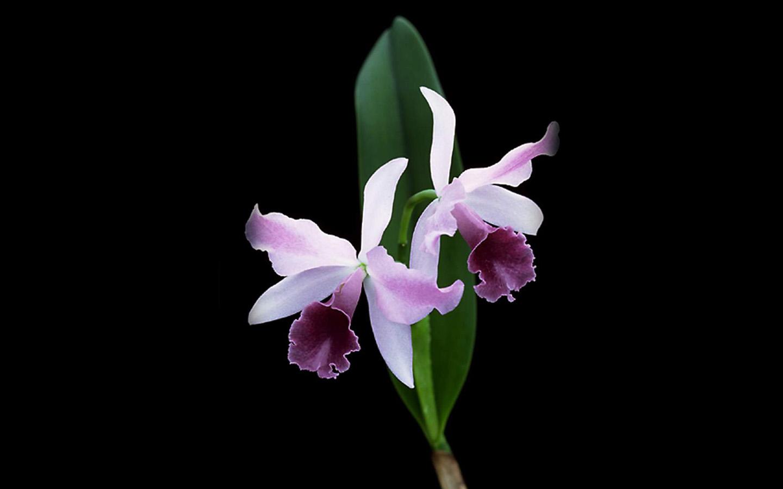 Black Flower Wallpaper 植物桌布下載 花卉攝影 蘭花